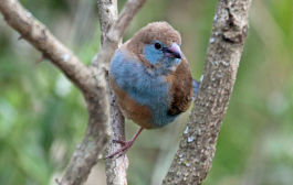 Cordon Blue Finch