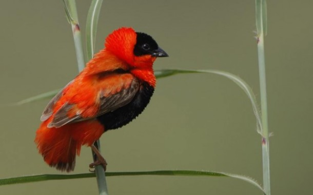 Turuncu Çulha - Orange Weaver - (Red Bishop)