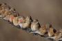Melez üretimi: Keten kuşu (Fanyata) X Kanarya