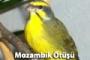 Keten Kuşu(Fanyata) Ötüş