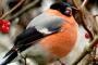 Şakrak Kuşu (PYRRHULA PYRRHULA – Bullfinch – Gimpel)