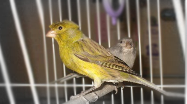 Timbrado nasıl bir kuştur?