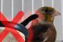 Kafes Kuşlarında Teflon Zehirlenmesi