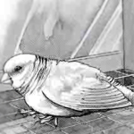 ill-canary