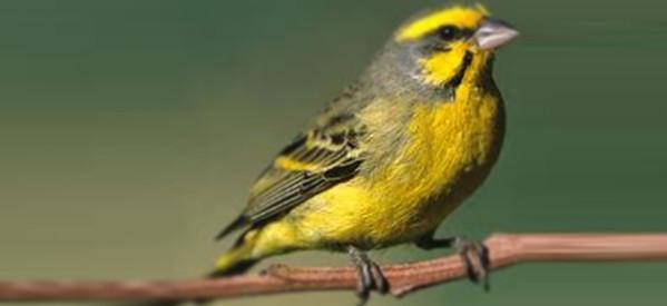 Kuşlarda Göz Hastalıkları