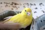 Kafes Kuşlarında Guatr Hastalığı