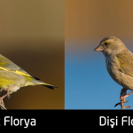 florya-disi-erkek