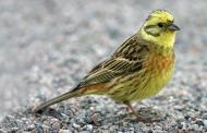 Sarı kiraz kuşu (Emberiza citrinella)