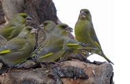 Florya kuşu kafesi neden örtülmelidir?
