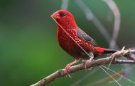 Çilek İspinozu (Red Waxbill)