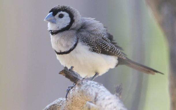 Baykuş İspinozu (Owl Finch)
