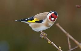 Saka Kuşu Taneli Ötüm